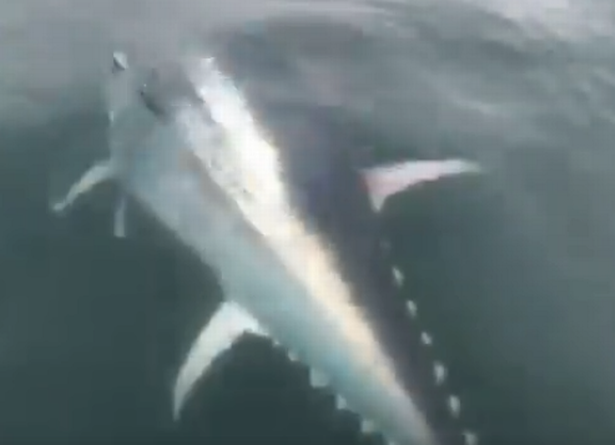 Blue Fin Tuna close up