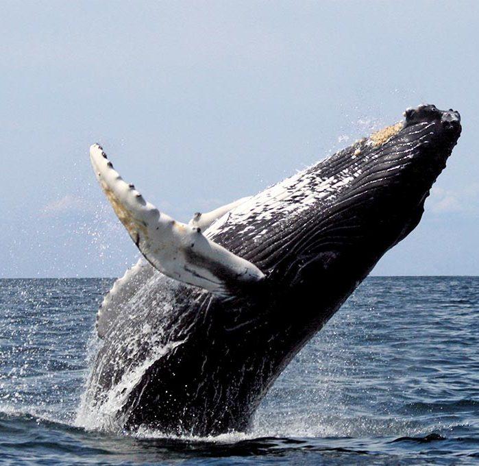 Humpback whale breaching water
