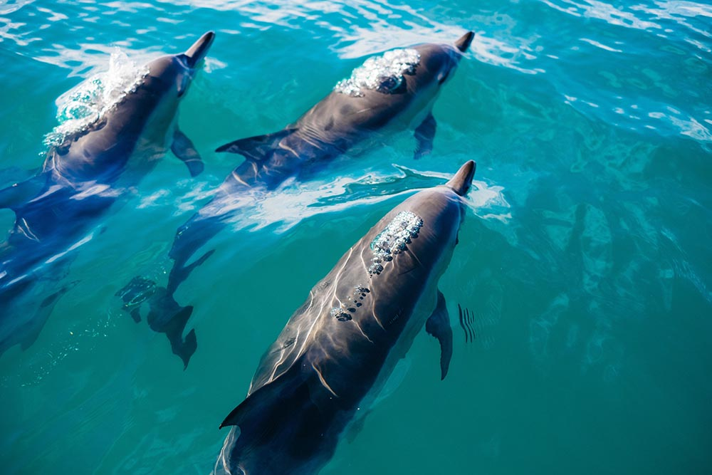 Pod of dolphins swimming in sea