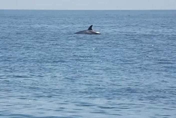 Sei Whale in distance