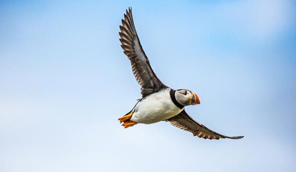 Puffin in Cornwall