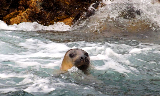 Elephant Seal Head popping out of water