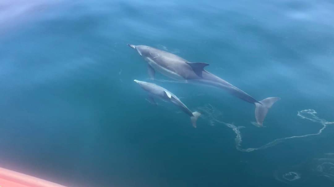 dolphin with calf that has a floppy dorsal