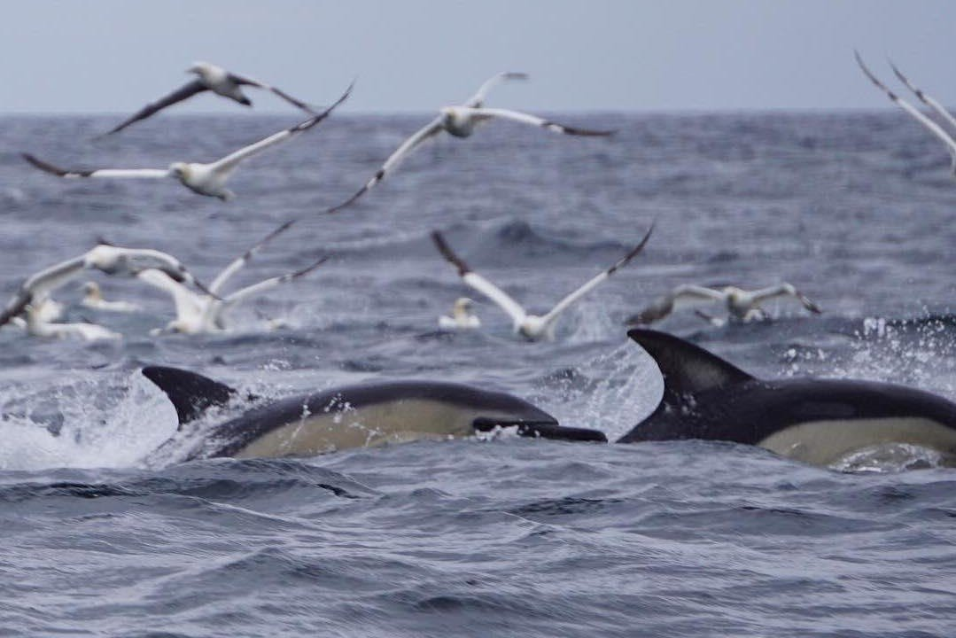 gannets dilphins min cropped 2