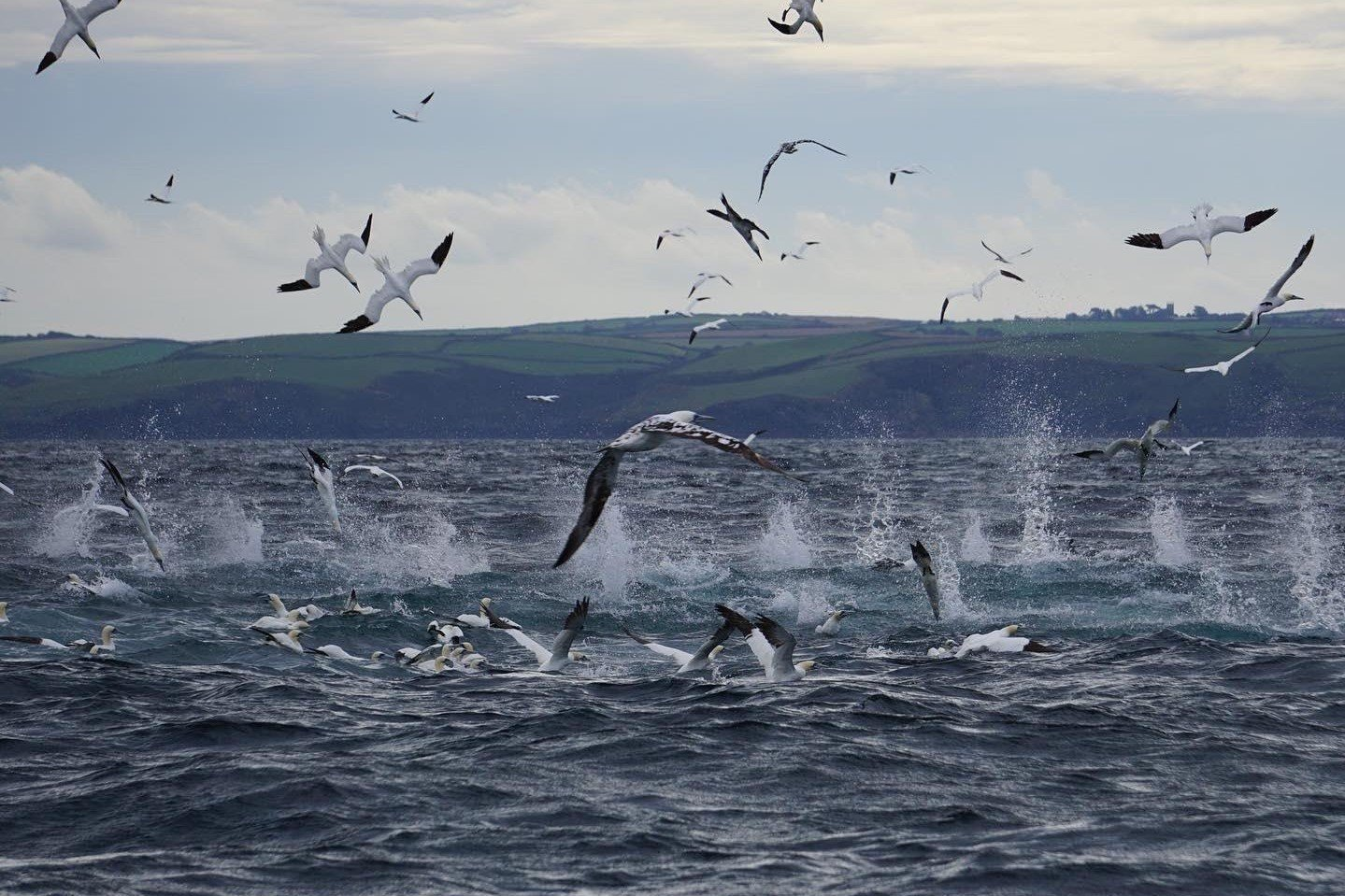 gannets min cropped 1