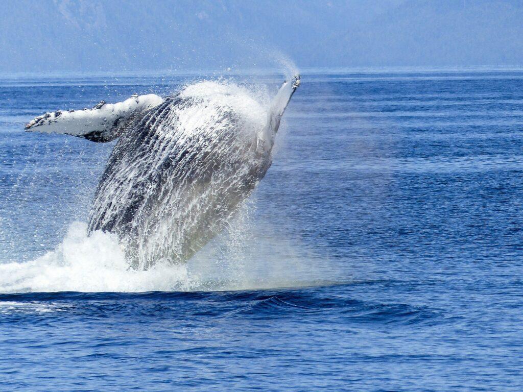 Humpback Whale Sightings in Uk, Cornwall
