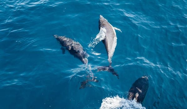 Three dolphins swimming in Cornwall