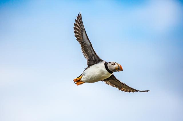 puffins in and around padstow cornwall