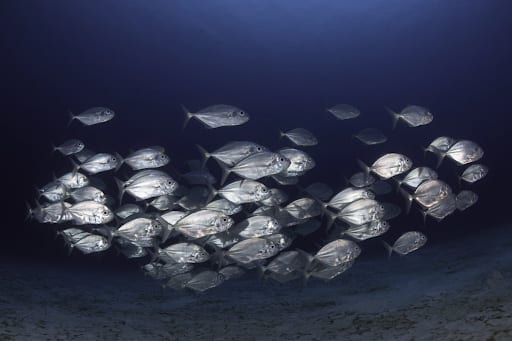 underwater photo of large school of silver fish