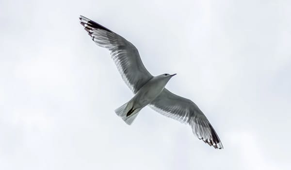 Seagull flying in Cornwall